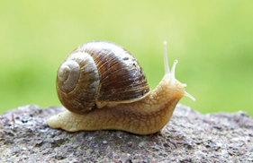 Snails cannot hear