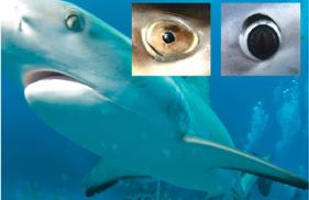 Sharks Eyes
