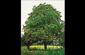 A mature leafy tree