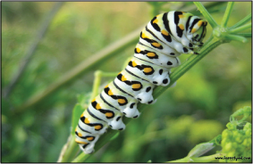 Caterpillars have about four  thousand muscles