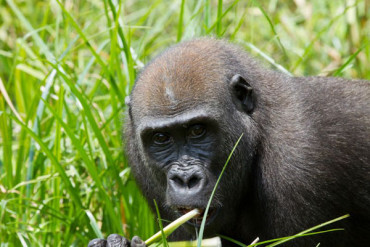 The scientific name for the Western lowland gorilla is Gorilla gorilla gorilla.