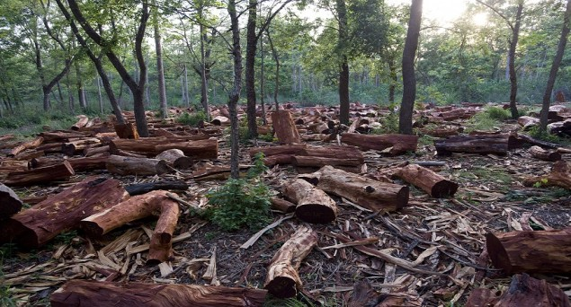 The world's forests have shrunk by three per cent since 1990 - an area equivalent to the size of South Africa - and India is among the countries who are losing their forest cover faster than others, researchers have warned. The green cover is being more rapidly lost in some of the developing and poorest countries including India, Vietnam and Ghana. Total global forest area has declined by three percent between 1990 and 2015 from 4,128 million hectares to 3,999 million hectares - a loss of 129 million hectares. Significantly, loss of natural forested area was double the global total at six percent, while tropical forests took the hardest hit with a loss rate of 10 percent.
