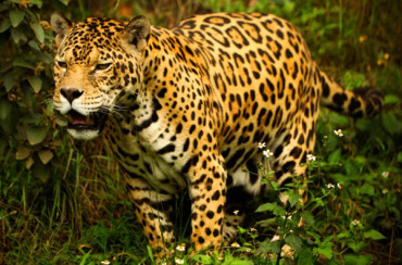 The jaguar and the leopard are the only big cats which do not roar