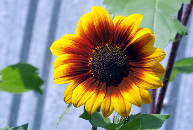 Sunflowers can be used to clean up radioactive waste