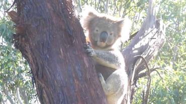 Koalas climb backwards down the tree