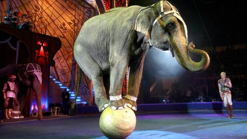 Most elephants in the zoo or in the circus are females because they are easier to control