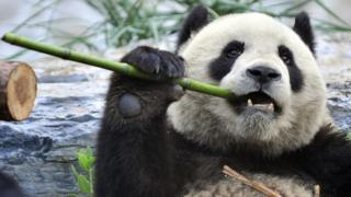 Scientists discover ancient type of panda in fossil