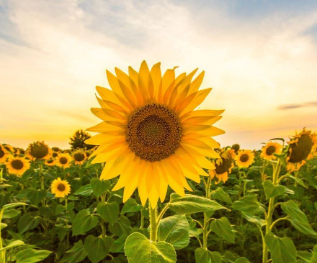 Tiny artificial sunflowers that could harvest solar energy made